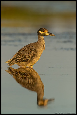 The slack tide water was almost smooth enough for a perfect reflection of this Yellow Crowned Night Heron just before the sun dropped behind the riverbank.