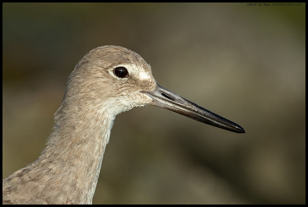 Portrait of a Willet.