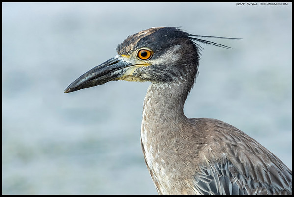 Another portrait of a Yellow Crowned Night Heron, this one in the immature plumage.