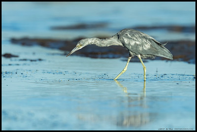 Molting Little Blue Heron foraging along the shallows.