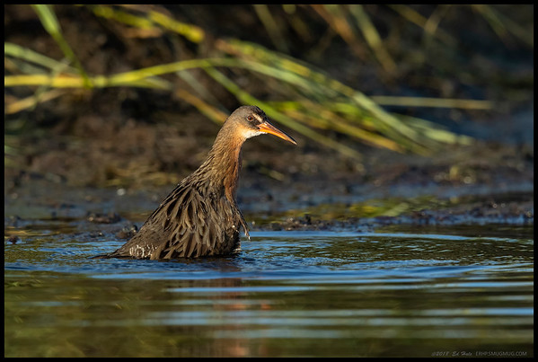 A Ridgway's Rail taking an early morning dip in the pool.