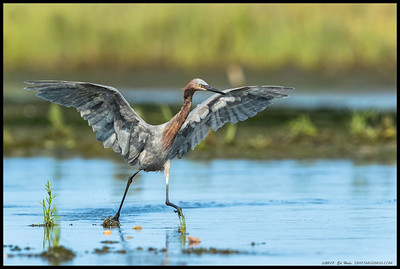 Watching our juvenile Reddish Egret switch into full chase mode as it runs/hops/flies across the water.