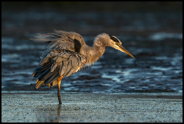 After a failed attempt on dinner, the Great Blue Heron needed to shake things up a bit before going for another try.