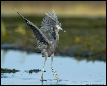 Touchdown for the Little Blue Heron.  After watching a nearby Snowy Egret chase fish, this heron decided to get in on the action.