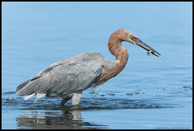 After a short chase, the local juvenile Reddish Egret came up with a snack.