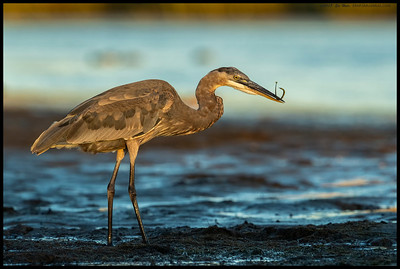 One of the immature Great Blue Herons caught a needlefish in the shadows but fortunately for me, brought it out into the remaining evening light before swallowing it whole.