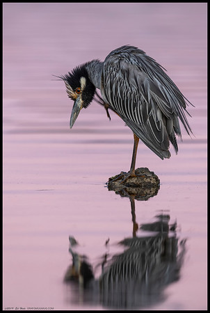 A Yellow Crowned Night Heron with an itch as the sunset colors were reflected on the water.