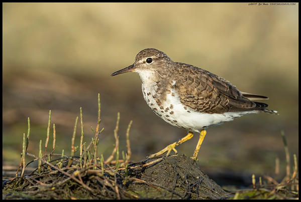 A Spotted Sandpiper decided to wander up to the lens.