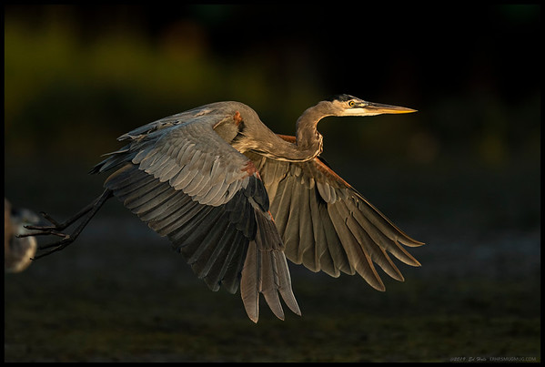 An adult Great Blue Heron flying towards the sunset.  Another Great Blue was getting ready to take off to follow.