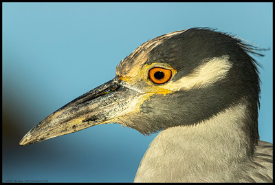Portrait shot of Babou, a Yellow Crowned Night Heron who enjoys walks along the river and fresh crab dinners.