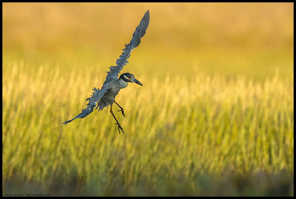 A Yellow Crowned Night Heron on final approach following the line between light and shadow.