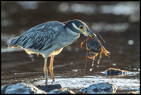 A Yellow Crowned Night Heron found its eyes were bigger than its gullet as it wrestled with this crab.  After a long fight, it finally settled for just eating the claws and legs.