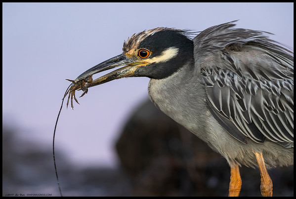 A closeup of a Yellow Crowned Night Heron with an evening snack.   The coloring of the water is the reflection of the 'Belt of Venus'.