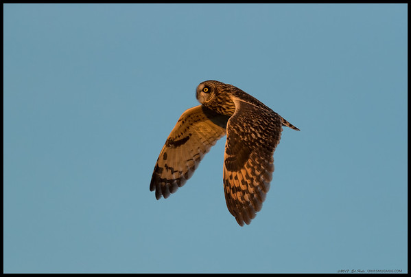 A Short Eared Owl in flight over Fiesta Island just before sunset.