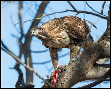 A young Red Tailed Hawk with a late breakfast.  This was actually taken on Fiesta Island, an area that was once part of the larger San Diego River marshland.