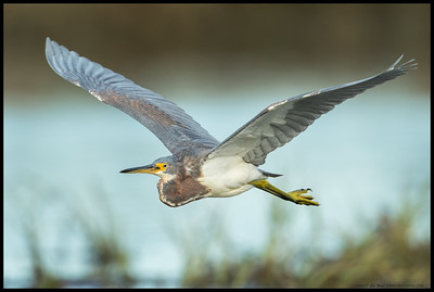 Juvenile TriColored Heron in flight over the San Diego River.