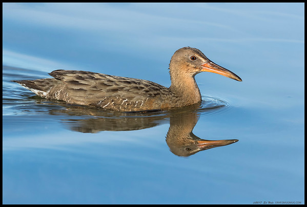 The artist formerly known as the 'Clapper Rail', now known as the Ridgway Rail, taking a swim across the narrow channel.