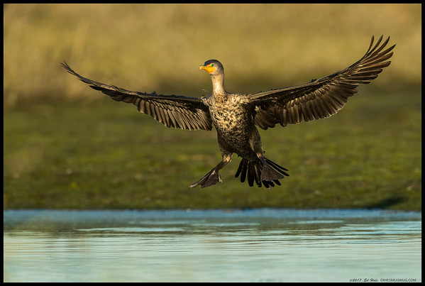 A Double Crested Cormorant coming in for a late afternoon landing at the San Diego River.