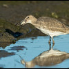 This Willet found a large bivalve in the mud and proceeded to work on it until it got the tasty prize inside.