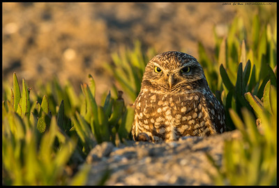 A female Burrowing Owl keeping both eyes on me.  Ironically, that was the hardest part, getting shots with both eyes looking at me.