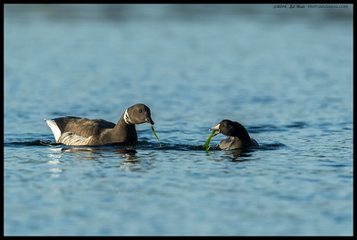 From across the water their eyes met...  Brant Goose and American Coot 'share' some eel grass.