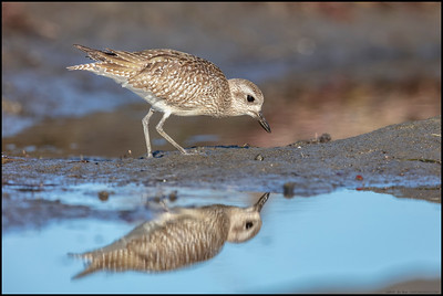 A Black Bellied Plover and its reflection in its drab winter attire.