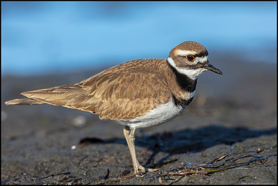 A little detailed portrait of a Killdeer.  50MP might be overkill considering most people will never look past the view on their phone.