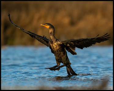 A Double-crested Cormorant coming in for a landing, tailhook deployed.
