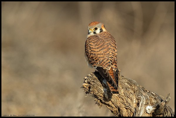 One of the female American Kestrels perched on a nice stump just before an offleash dog flushed her from the perch.