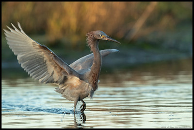 Some birds are very interesting in their movement as their head stays fairly motionless while the body is moving.  This juvenile Reddish Egret was chasing a fish just before the sun dropped behind the horizon.