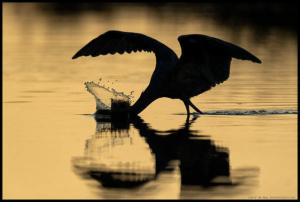 A silhouetted Reddish Egret diving in for a fish.