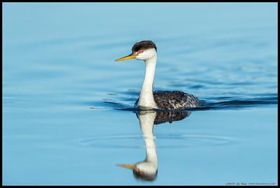 A Western Grebe had decided to come in closer to investigate the curious clicking noise of the camera shutter.