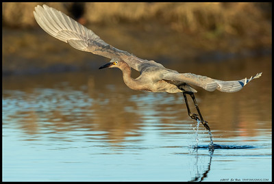 Juvenile Reddish Egret on takeoff, though it was a short flight.