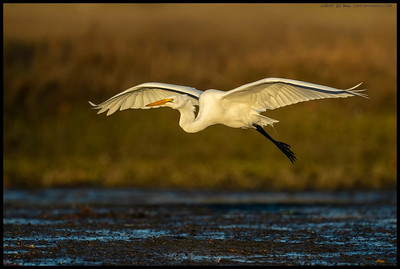 A Great Egret on final approach before landing on the usual perch.