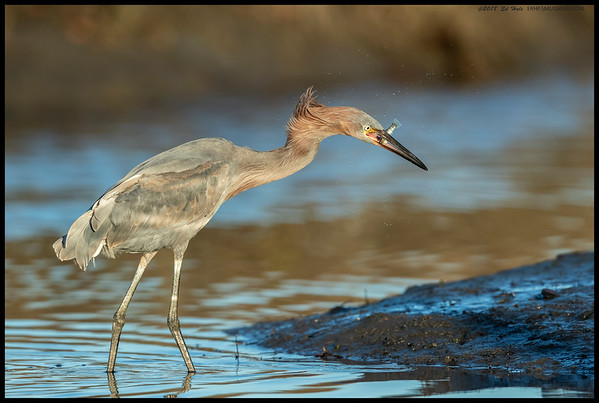 Juvenile Reddish Egret just after the orientation toss and recapture of it snack.