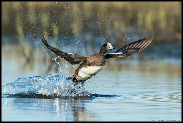 An American Wigeon moving more water than air in his bid to get airborne.