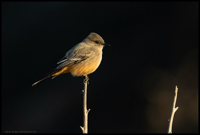 Say's Phoebe outlined in the early morning light.