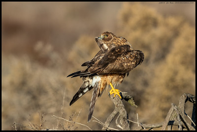 I spent a bit of time with this female Northern Harrier as she preened and preened some more.