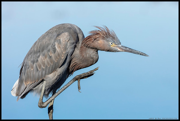 A juvenile Reddish Egret getting ready to take care of a small itch.