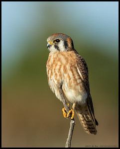 One of the female Kestrel's was kind enough to pose for me.