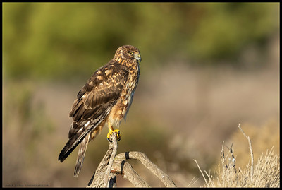 A female Northern Harrier sits overlooking her domain.