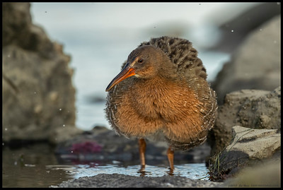 Does this pose make me look fat?  Ridgway's Rail shaking off some excess water after diving in for a small crab.