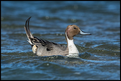 It was a fairly windy day, with this Northern Pintail's tail feathers being pushed over and some chop on what is normally a quiet pool of water.