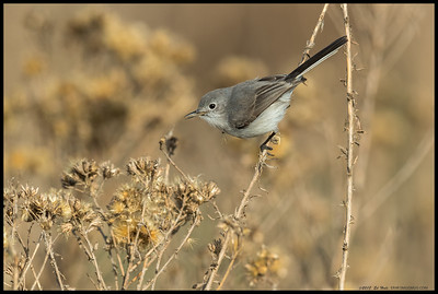 Blue Grey Gnatcatcher contemplating the next tasty morsel.
