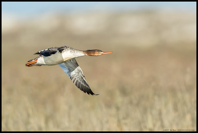 Female Red Breasted Merganser in flight over the marshy end of the San Diego River.