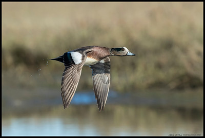 A male American Wigeon just after takeoff.