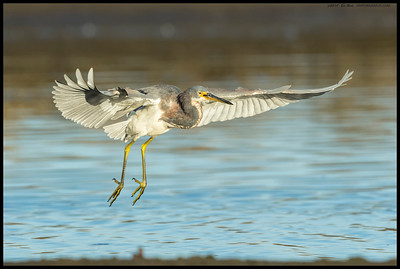 Juvenile Tricolored Heron coming in for a landing.
