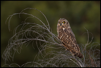 Just as the sun set I spotted this Short Eared Owl perched atop a small dead tree.