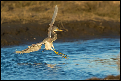 The juvenile TriColored Heron coming in for a landing just after the evening color shift started.