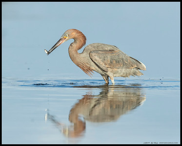 After a brief chase, the Reddish Egret collects another prize from the river.